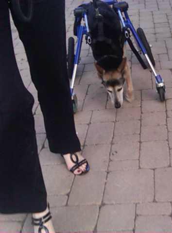 Zuko walking again in his Walkin' Wheels wheelchair - August 2, 2015